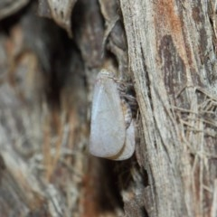 Anzora unicolor (Grey Planthopper) at ANBG - 27 Mar 2019 by TimL
