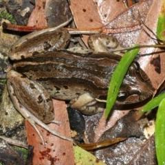 Limnodynastes peronii (Striped marsh frog) at Rosedale, NSW - 29 Mar 2019 by jbromilow50
