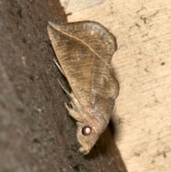Calyptra minuticornis (Vampire Moth) at Rosedale, NSW - 29 Mar 2019 by jbromilow50