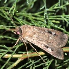 Agrotis infusa (Bogong Moth) at Guerilla Bay, NSW - 30 Mar 2019 by jbromilow50