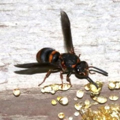 Epsilon sp. (Resin mason wasp) at Rosedale, NSW - 31 Mar 2019 by jbromilow50