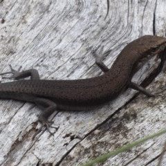 Pseudemoia entrecasteauxii (Woodland Tussock-skink) at Namadgi National Park - 1 Apr 2019 by Christine