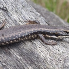 Eulamprus heatwolei (Yellow-bellied Water-skink) at Bimberi Nature Reserve - 1 Apr 2019 by Christine