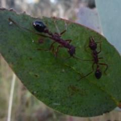 Myrmecia sp. (genus) (Bull ant or Jack Jumper) at Namadgi National Park - 1 Apr 2019 by Christine