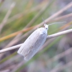 Tortricinae sp. (subfamily) (A tortrix moth) at Namadgi National Park - 1 Apr 2019 by Christine