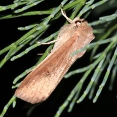 Mythimna (Pseudaletia) convecta (Common Armyworm) at Guerilla Bay, NSW - 30 Mar 2019 by jbromilow50