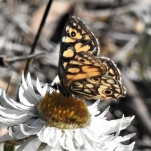 Oreixenica lathoniella at Namadgi National Park - 1 Apr 2019