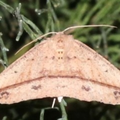 Idiodes apicata (Bracken Moth) at Guerilla Bay, NSW - 30 Mar 2019 by jbromilow50
