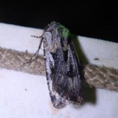 Agrotis munda (Brown Cutworm) at Bimberi, NSW - 1 Apr 2019 by Christine
