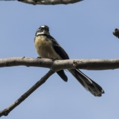 Rhipidura fuliginosa (Grey Fantail) at ANBG - 29 Mar 2019 by Alison Milton