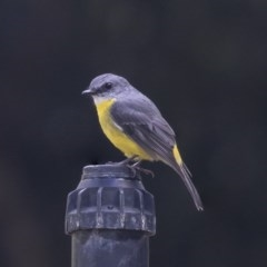 Eopsaltria australis (Eastern Yellow Robin) at ANBG - 29 Mar 2019 by Alison Milton
