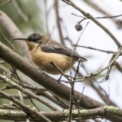 Acanthorhynchus tenuirostris at ANBG - 29 Mar 2019