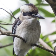 Dacelo novaeguineae (Laughing Kookaburra) at ANBG - 29 Mar 2019 by Alison Milton