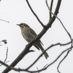 Caligavis chrysops (Yellow-faced Honeyeater) at ANBG - 29 Mar 2019 by Alison Milton