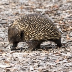Tachyglossus aculeatus (Short-beaked Echidna) at ANBG - 29 Mar 2019 by Alison Milton