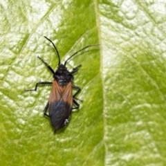 Oncopeltus (Oncopeltus) sordidus (Milk vine bug) at ANBG - 29 Mar 2019 by AlisonMilton