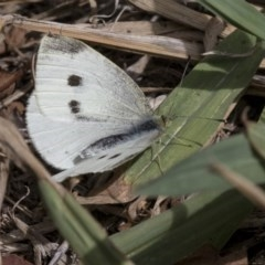 Pieris rapae (Cabbage White) at Higgins, ACT - 31 Mar 2019 by AlisonMilton
