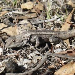 Amphibolurus muricatus (Jacky Lizard) at Isaacs Ridge - 31 Mar 2019 by Mike
