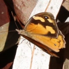 Heteronympha merope (Common Brown) at Rosedale, NSW - 30 Mar 2019 by jbromilow50