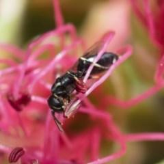 Hylaeus (Prosopisteron) minusculus (Hylaeine colletid bee) at Michelago, NSW - 18 Nov 2018 by Illilanga