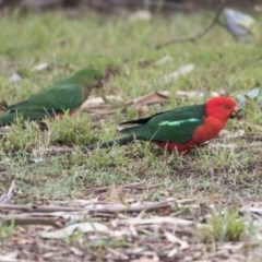 Alisterus scapularis (Australian King-Parrot) at Higgins, ACT - 30 Mar 2019 by Alison Milton