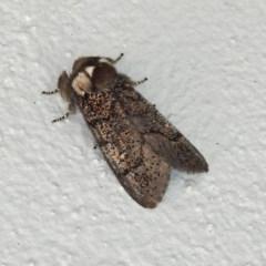 Oenosandra boisduvalii (Boisduval's Autumn Moth) at Namadgi National Park - 1 Apr 2019 by RodDeb