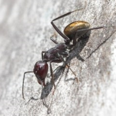 Camponotus suffusus (Golden-tailed sugar ant) at Acton, ACT - 31 Mar 2019 by TimL