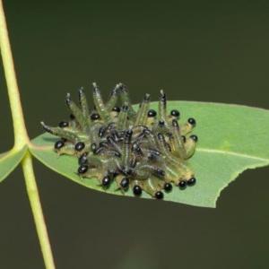 Pseudoperga sp. (genus) at ANBG - 1 Apr 2019