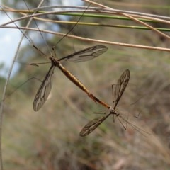 Ptilogyna sp. (genus) (A crane fly) at Mount Painter - 29 Mar 2019 by CathB