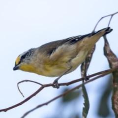 Pardalotus striatus (Striated Pardalote) at Lake Ginninderra - 2 Apr 2019 by Alison Milton