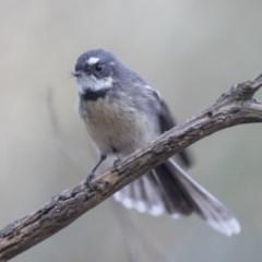 Rhipidura fuliginosa (Grey Fantail) at Lake Ginninderra - 2 Apr 2019 by Alison Milton