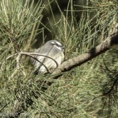Rhipidura fuliginosa (Grey Fantail) at Cotter Reserve - 30 Mar 2019 by BIrdsinCanberra