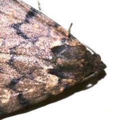 Mormoscopa phricozona at Ainslie, ACT - 3 Apr 2019