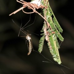Ptilogyna sp. (genus) (A crane fly) at Mount Ainslie - 3 Apr 2019 by jbromilow50