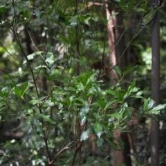 Papilio aegeus at ANBG - 4 Apr 2019