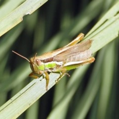 Bermius brachycerus (A grasshopper) at ANBG - 3 Apr 2019 by RodDeb