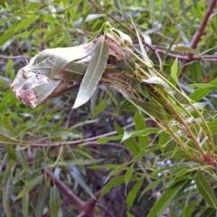Dichocrocis clytusalis at ANBG - 3 Apr 2019