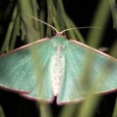 Chlorocoma (genus) (Emerald moth) at Ainslie, ACT - 3 Apr 2019 by jbromilow50