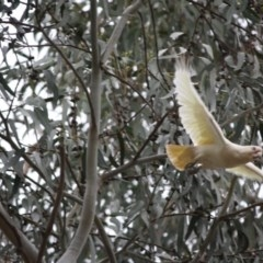 Cacatua sanguinea (Little Corella) at Red Hill Nature Reserve - 19 Dec 2018 by LisaH