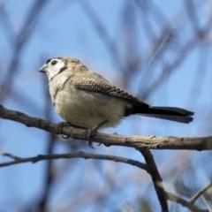 Taeniopygia bichenovii (Double-barred Finch) at McKellar, ACT - 2 Apr 2019 by Alison Milton