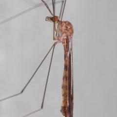 Tipulidae or Limoniidae sp. (family) at ANBG - 3 Apr 2019