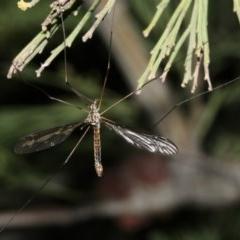 Ptilogyna sp. (genus) (A crane fly) at Mount Ainslie - 4 Apr 2019 by jbromilow50