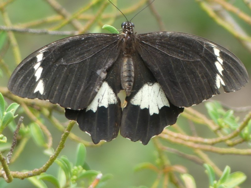Papilio aegeus at ANBG - 5 Apr 2019