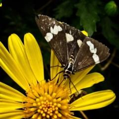 Nyctemera amicus (Senecio or Magpie moth) at Banks, ACT - 5 Apr 2019 by UserfaKgHkxs
