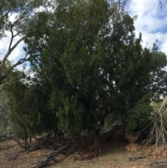 Exocarpos cupressiformis (Cherry Ballart) at Ainslie, ACT - 5 Apr 2019 by jbromilow50