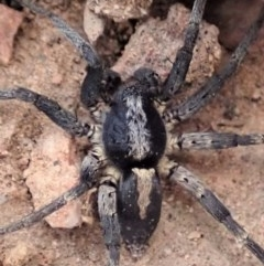 Lycosidae sp. (family) (Unidentified wolf spider) at Mount Painter - 3 Apr 2019 by CathB