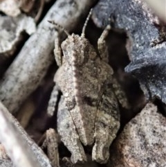 Tetrigidae (family) (Groundhopper or Pygmy grasshopper) at Mount Painter - 3 Apr 2019 by CathB