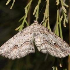 Ectropis (genus) (An engrailed moth) at Ainslie, ACT - 4 Apr 2019 by jbromilow50