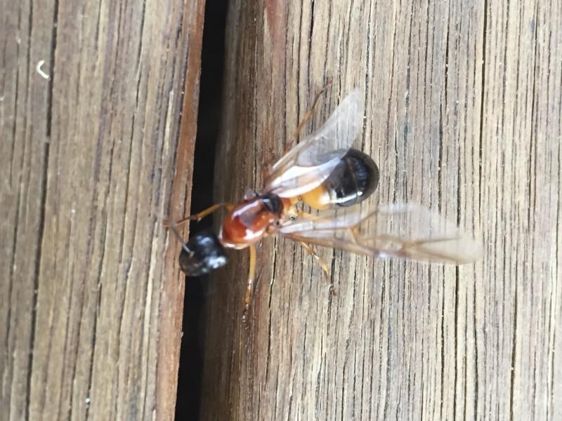 Camponotus consobrinus at Michelago, NSW - 11 Jan 2018
