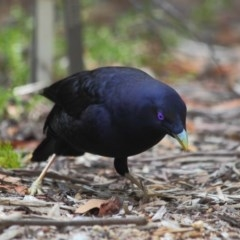 Ptilonorhynchus violaceus (Satin Bowerbird) at ANBG - 1 Apr 2019 by Tim L